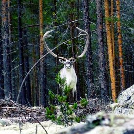 Majestic reindeer in the Norwegian forest of Valdres