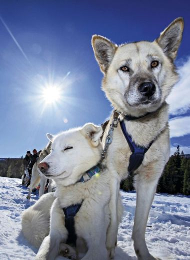 Close up to the hounds - Jotunheimen National Park husky-sledding in Norway