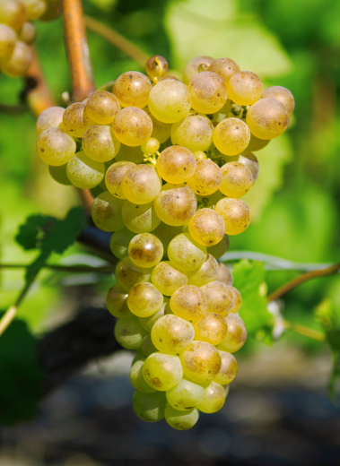 Fendant (Chasselas) grapes