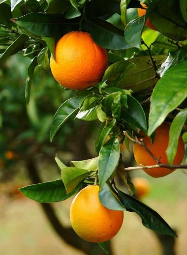 Mallorca, Son Brull, oranges, organic, home grown, orange tree, food