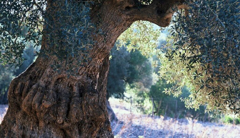 Aged Olive tree - in the Mediterreanean gardens of Son Brull Hotel Mallorca