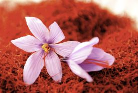 Mund Saffron - flower head. A sweet spice grown and produced in Valais Switzerland