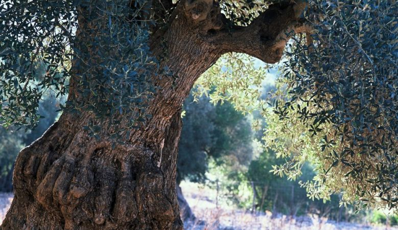 Mallorcan, tree, sunlight, nature, natural, wilderness
